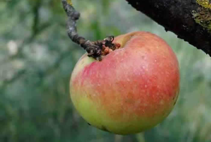 Manzana en el árbol