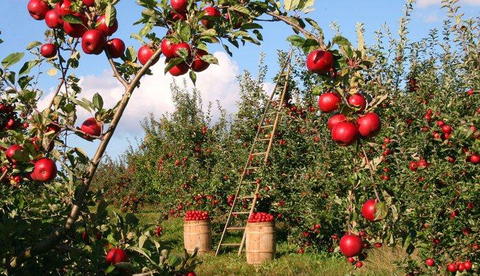 Manzanos con frutos