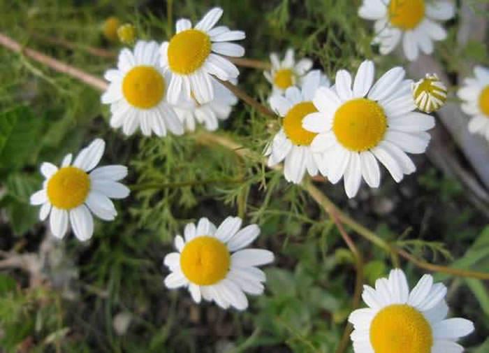 manzanilla matricaria chamomilla revista de flores