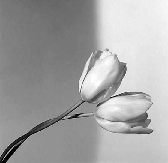 mapplerthorpe-tulips