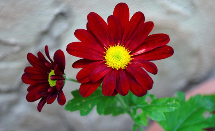 Flores de Margaritas o Crisantemo