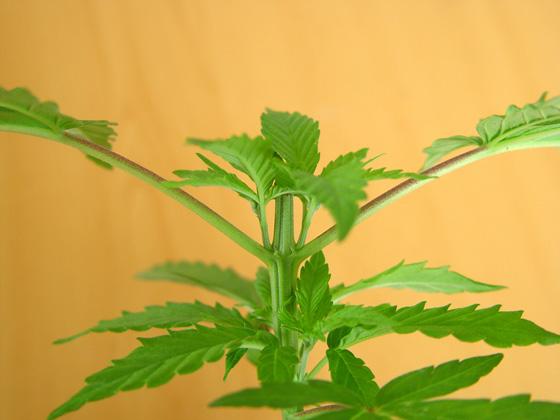 Los nuevos brotes de Marihuana son un reclamo para las plagas