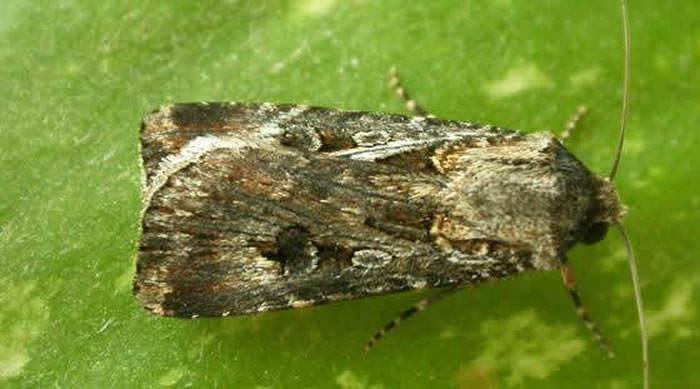 mariposa de agrotis