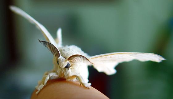 Mariposa de gusano de seda