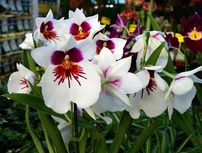 miltonia con flores de color blanco