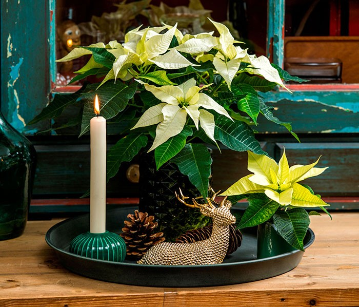 Decoración con poinsettias miniatura