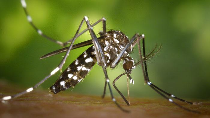 Plantas repelentes de mosquitos tigre