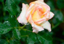 Multiplicación de las rosas