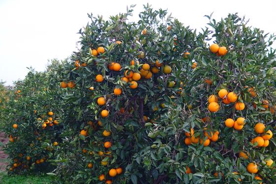 Naranjos cultivados en el campo for Arboles plantas y flores