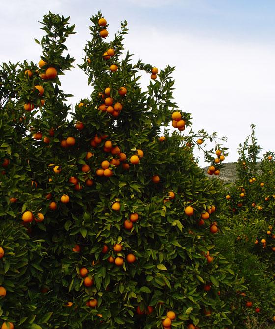 Naranjos con frutos