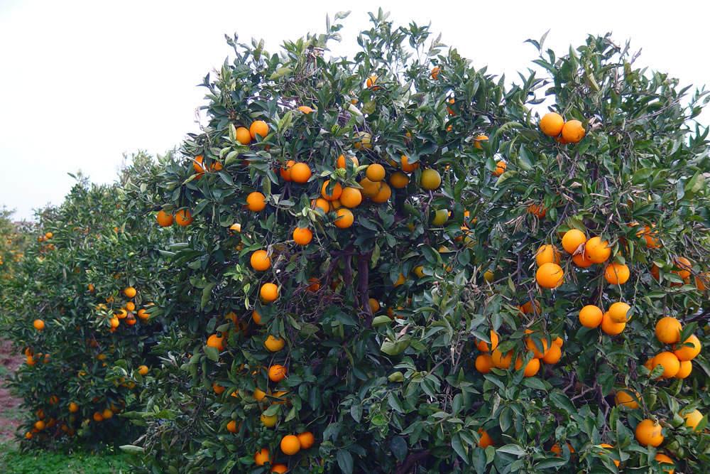 Los frutales revista de flores plantas jardiner a for Plantas frutales