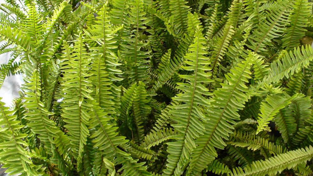 Nephrolepis cordifolia 1