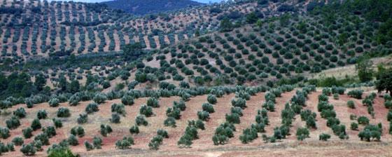 El olivar en España