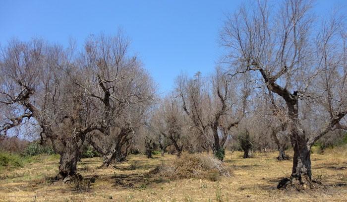 Olivos afectados por la Xylella fastidiosa