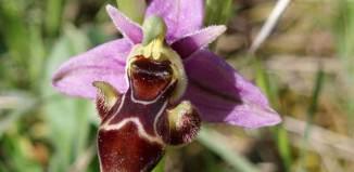 orquidea ophrys scolopax