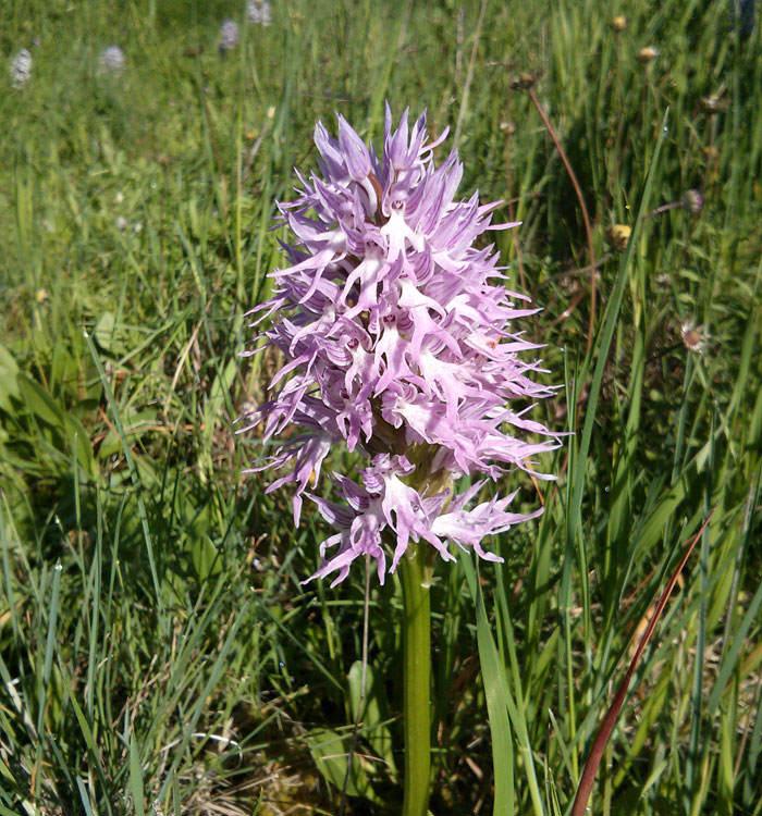Orchis italic