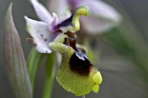 Flores de Orquídeas silvestres