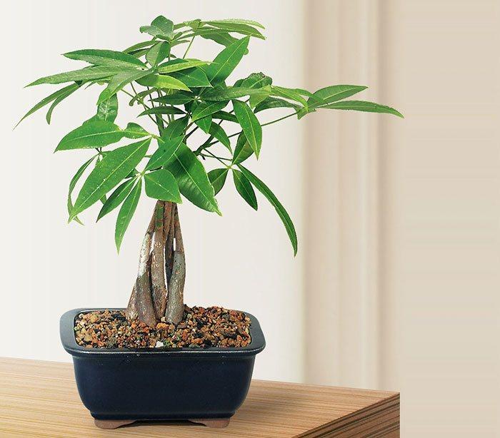 Pachira aquatica bonsái