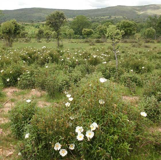 Plantas de Jara