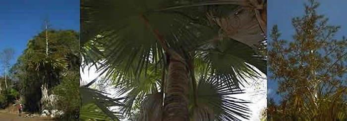 palmera tahina spectabilis
