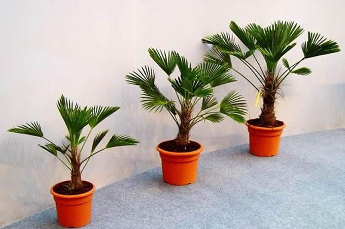 palmeras trachycarpus wagnerianus