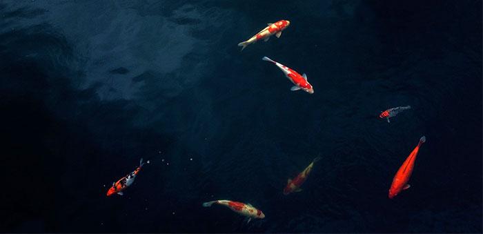 Mantenimiento de los peces del estanque en invierno