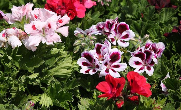 Flores de Pelargonium grandiflorum