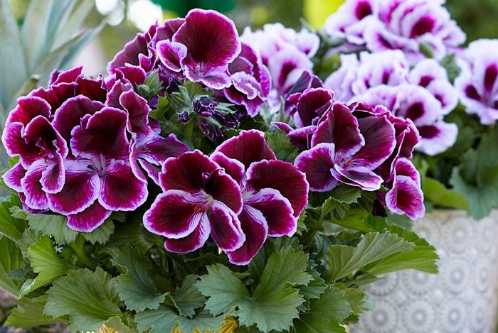 Pelargonium grandiflorum   Revista de Flores, Plantas, Jardinería,  Paisajismo y Medio ambiente
