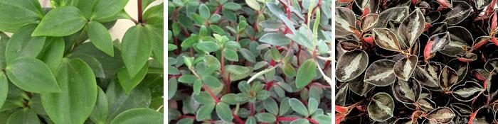 Pereskiifolia, rubella, metallica