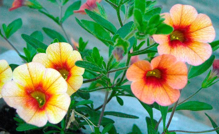 Petunias colgantes