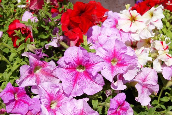 Tipos de petunias revista de flores plantas jardiner a - Tipos de plantas de exterior ...