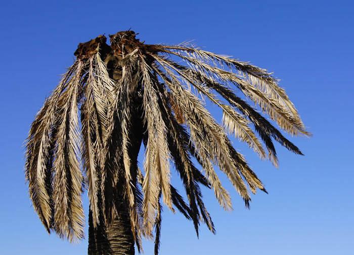 el picudo en una palmera
