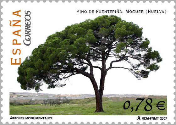 pino-de-Fuentepina-1