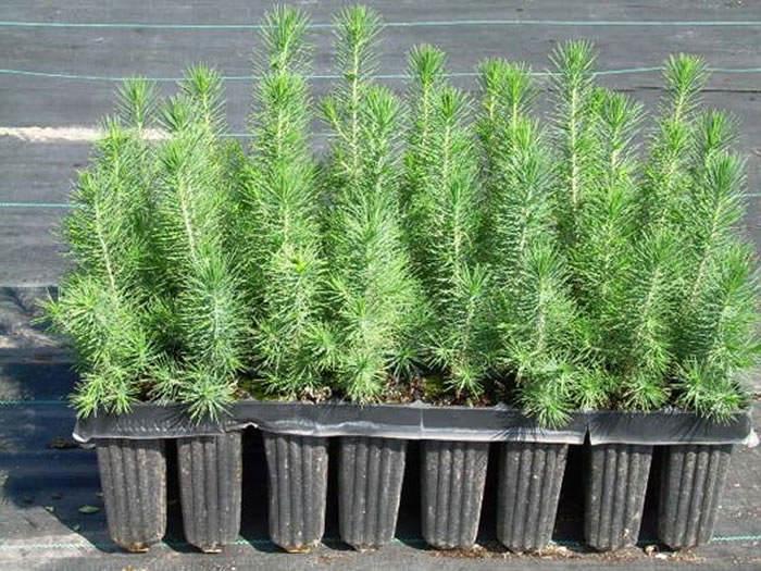 Pinus halepensis en bandejas anti espiralización radicular