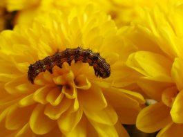 Plagas del Crisantemo