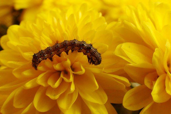 Oruga en crisantemo amarillo