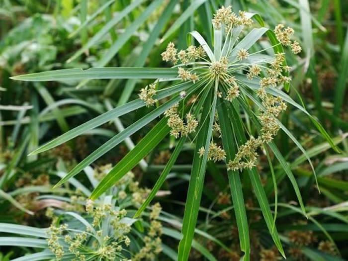 planta acuatic cyperus alternifolius