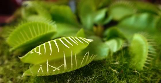 Plantas carnívoras ornamentales