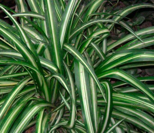Planta chlorophytum comosum
