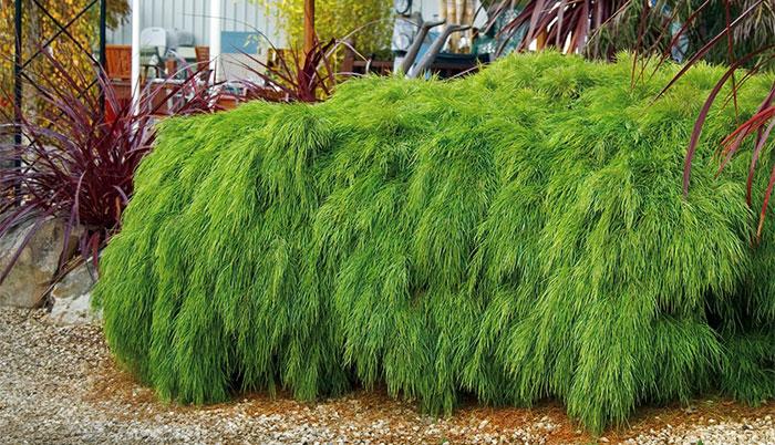 Planta de Acacia cognata Limelight