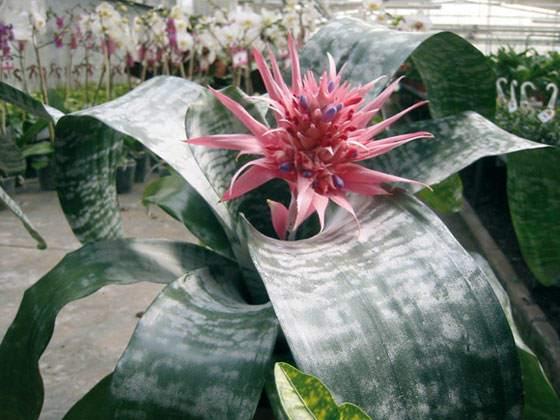 Planta de Aechmea fasciata