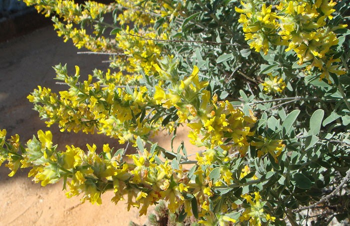 Planta de Anthyllis cytisoides