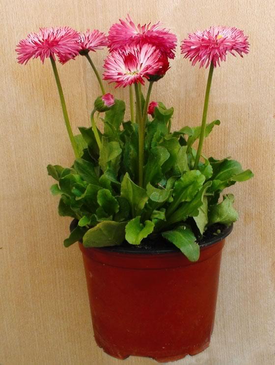 Planta en maceta de bellis perennis revista de flores for Jardineria exterior con guijarros