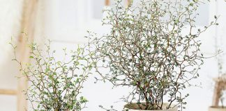 Planta de Corokia maori