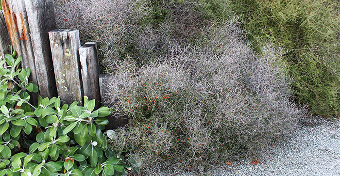 Planta de Corokia maori en el jardín