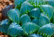Planta de Haworthia cooperi