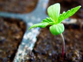 Sembrar semillas de Marihuana con éxito