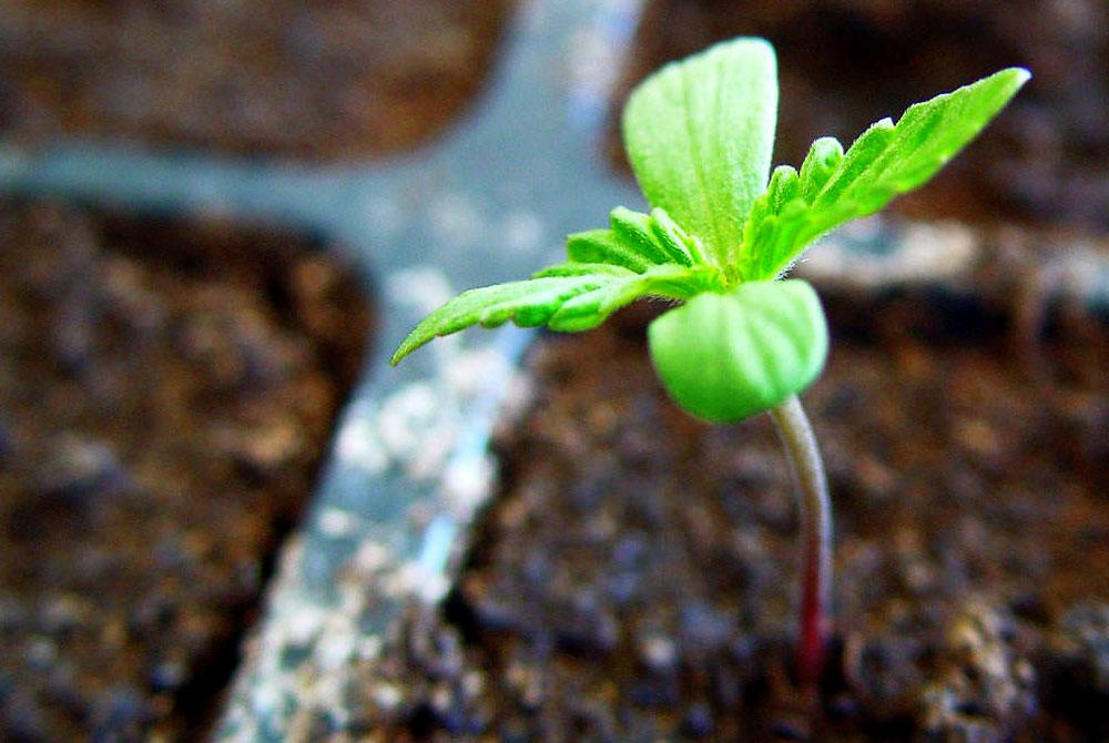 Sembrar semillas de marihuana con xito revista de for Arboles plantas y flores