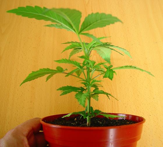 Planta de Marihuana recien pinzada