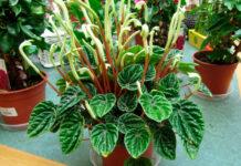Planta de Peperomia caperata
